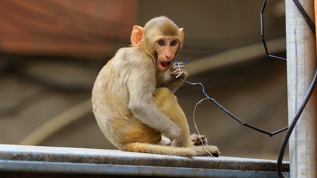 Unos monos huyen con muestras de COVID-19 tras atacar a un técnico de laboratorio