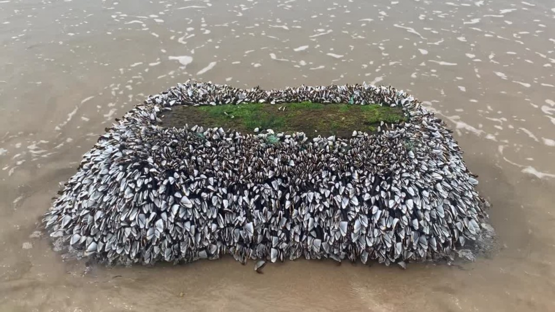 Un gran tronco lleno de percebes gigantes llega a una playa de Asturias