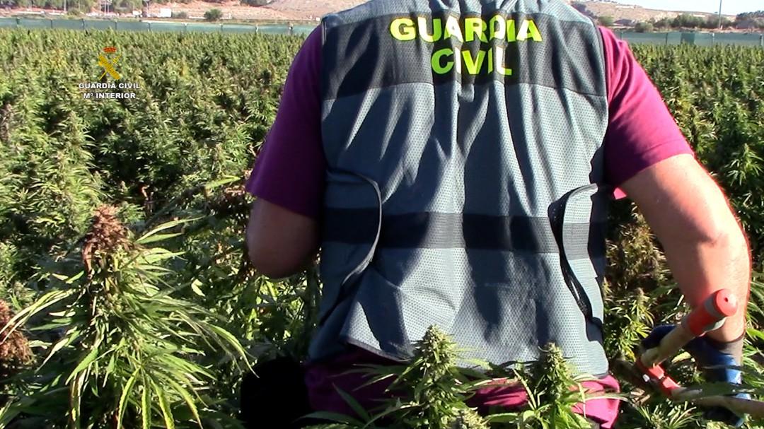 Descubierta en Toledo la mayor plantación de marihuana de Europa